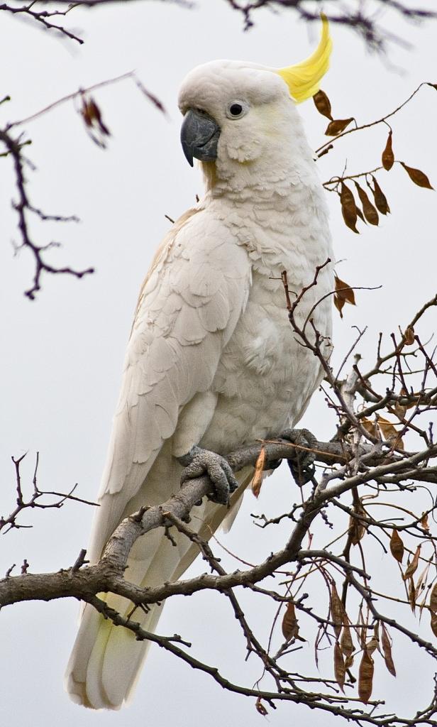 A sulfur-crested cockatoo